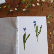 Blumen sammeln im Herbarium|Herbarium|Blumen sammeln|Blumen pressen|Blumenpresse|Was blüht denn da?|Blumen bestimmen|Pflanzen bestimmen|Frühling
